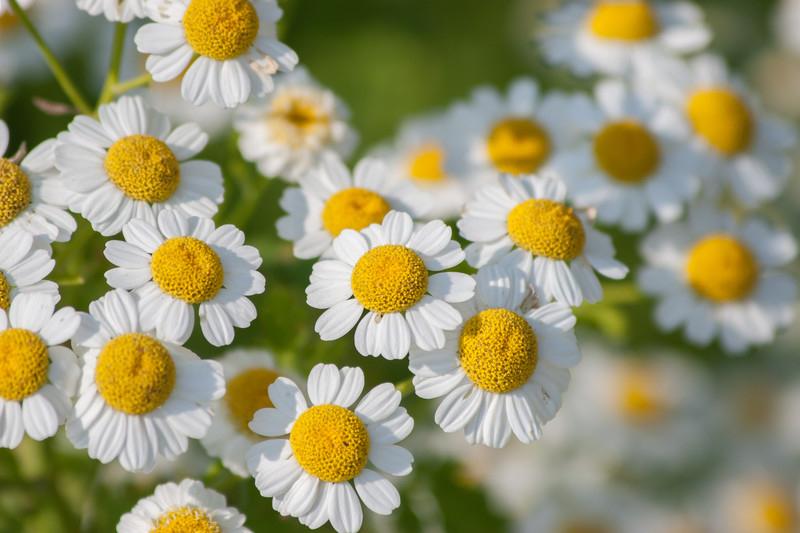 Första växtbaserade läkemedlet mot migrän