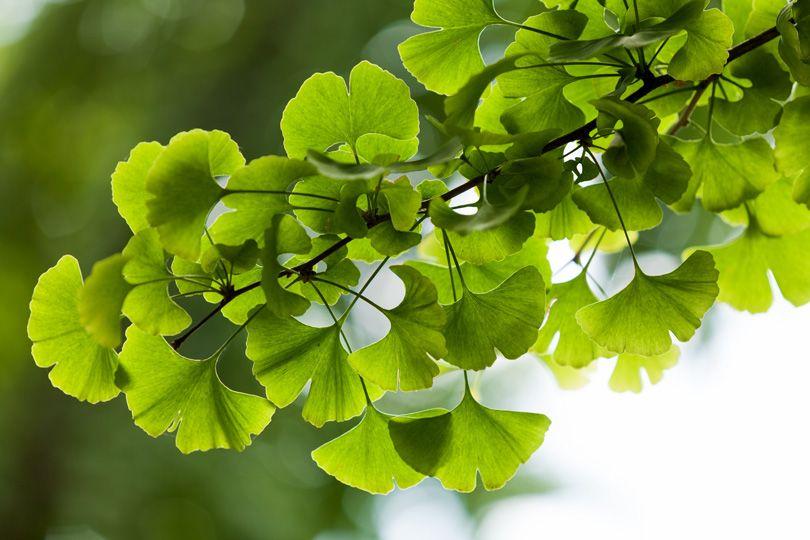 Ginkbo biloba är också känt som kinesiskt tempelträd.